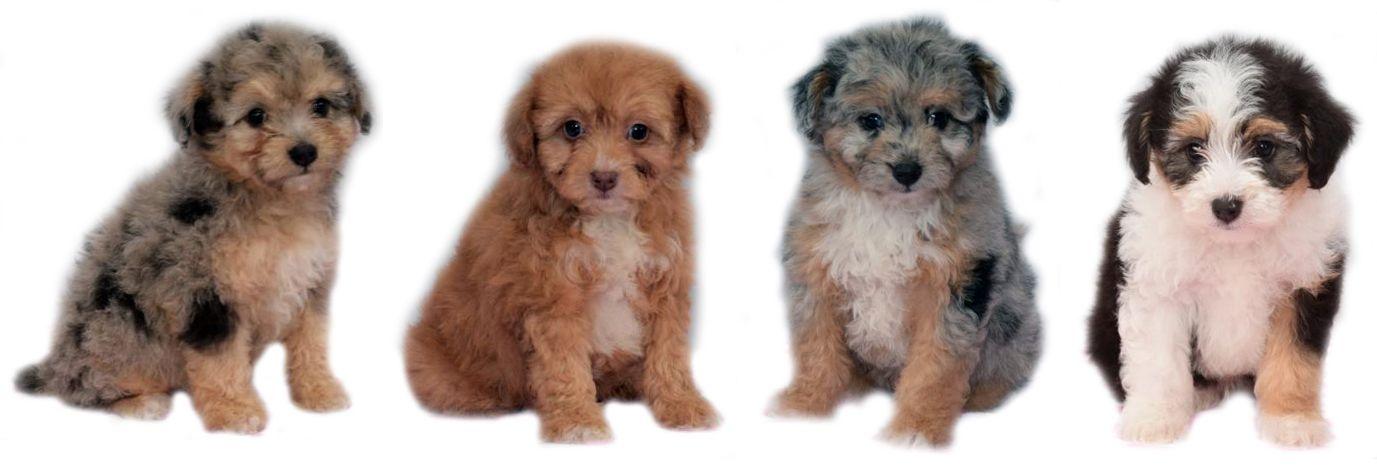 mini Aussiedoodle litter from www.CrockettDoodles