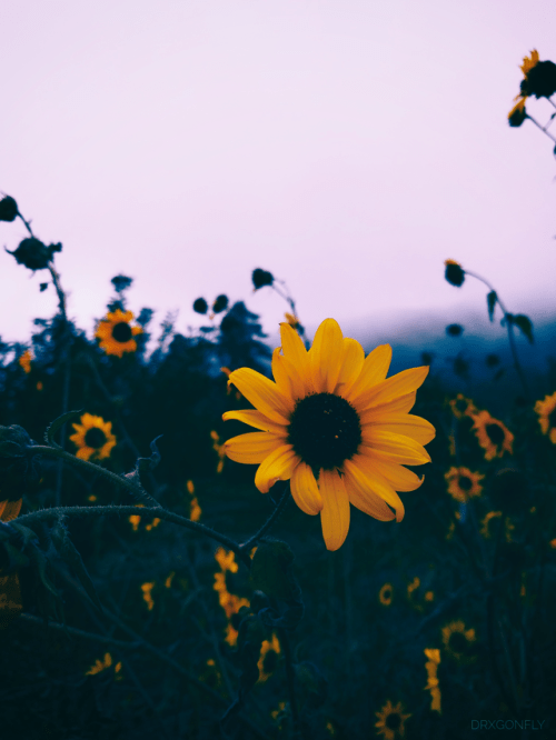 yellow flower aesthetic tumblr sunflower wallpaper flower aesthetic summer wallpaper sunflower wallpaper flower aesthetic