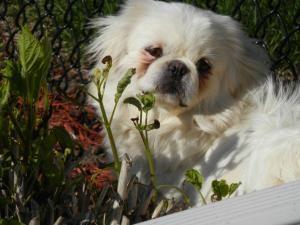 Adopt Pearl On Petfinder Pekingese Dogs Pekingese Dog Adoption