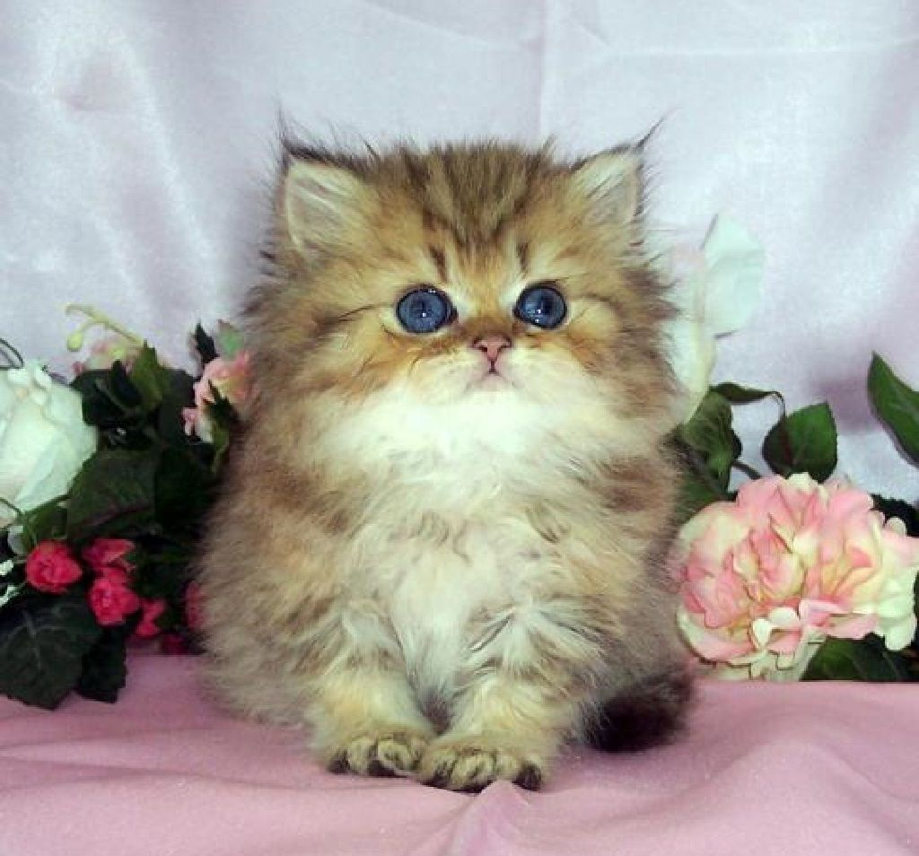 Cute Persian Kitty Cute Cats And Dogs Teacup Kitten Teacup Persian Cats