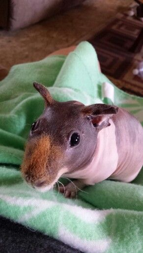 Skinny Pig The Hairless Guinea Pig Skinny Pig Skinny And Animal - Ludwig the bald guinea pig is winning the internets hearts
