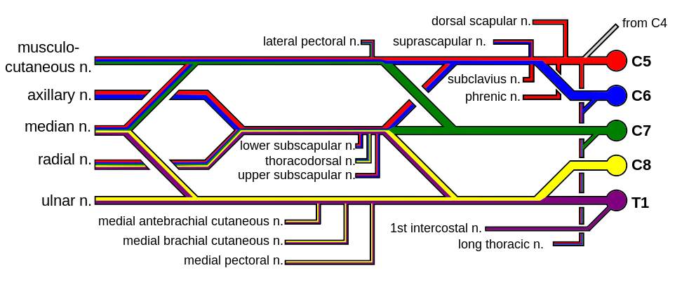 Brachial plexus color - Axillary nerve - Wikipedia, the free encyclopedia