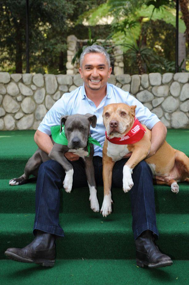 Cesar millan s blue pit bull puppy animals pinterest cesar