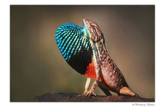 Male fan-throated lizard