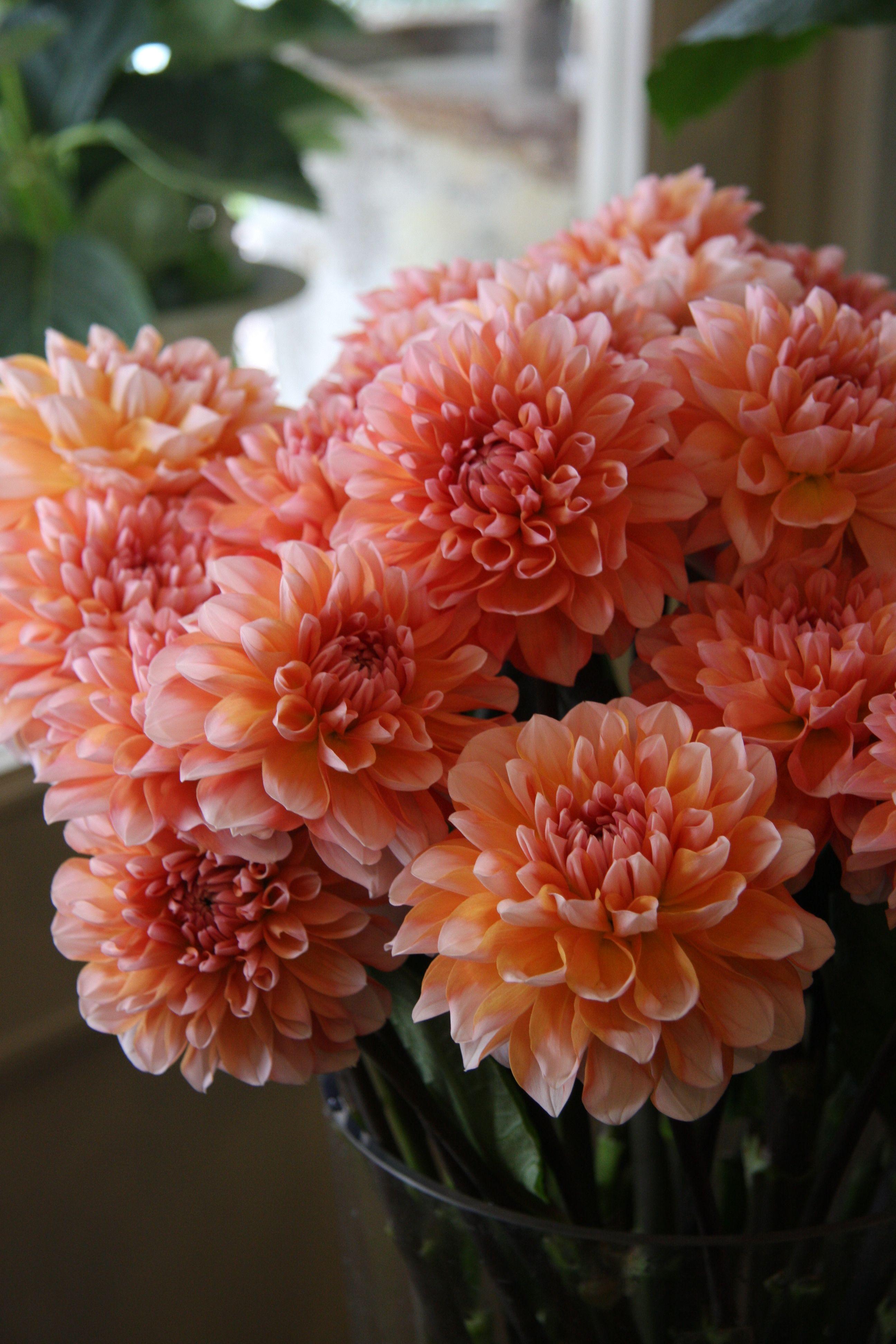 Coral Dahlias And Classic White Gerbera Daisy Bridal Bouquet