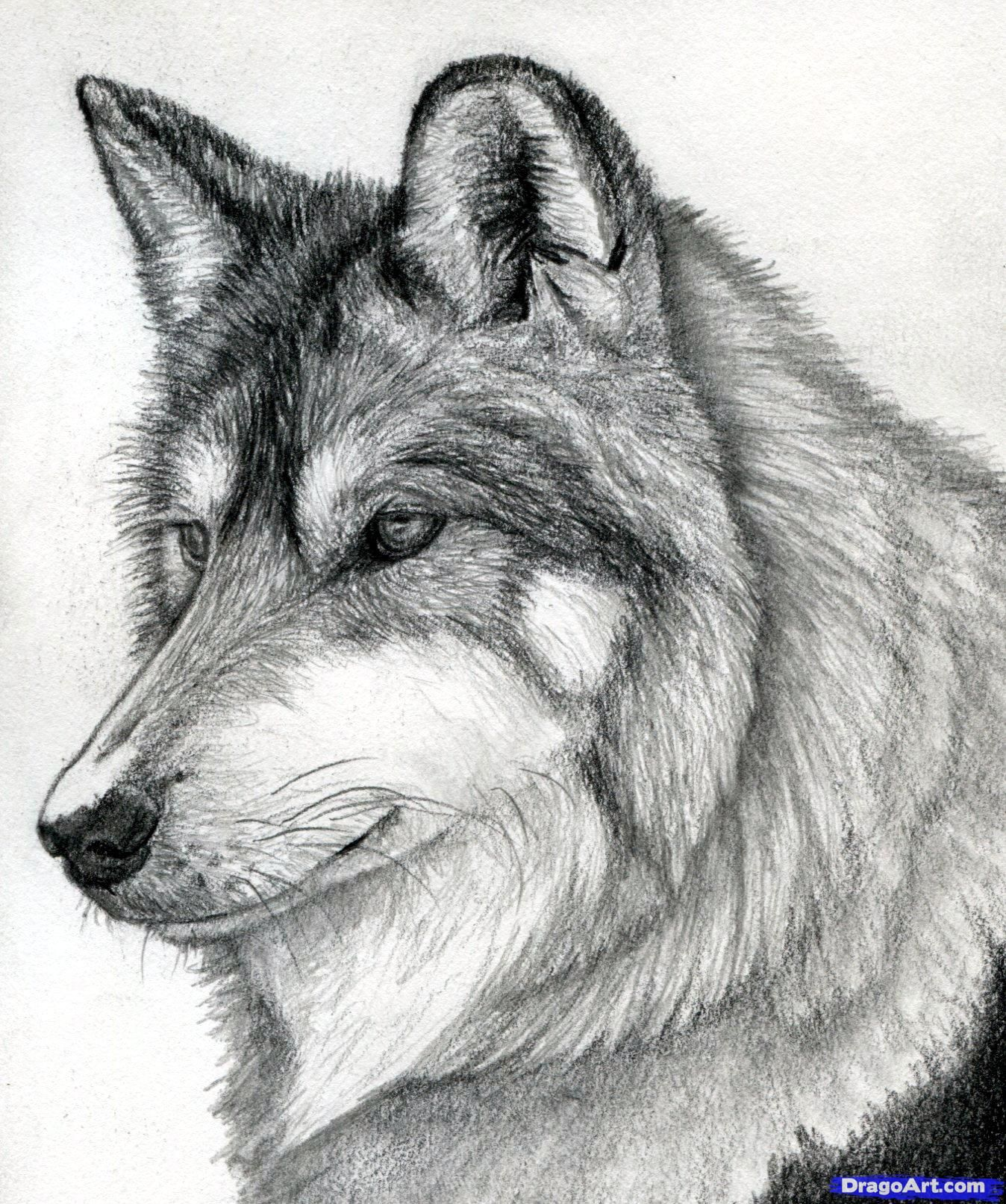 how to draw a wolf head mexican wolf step 20 20 20 20 ...