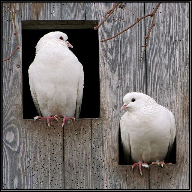 Snow White Turtle Doves