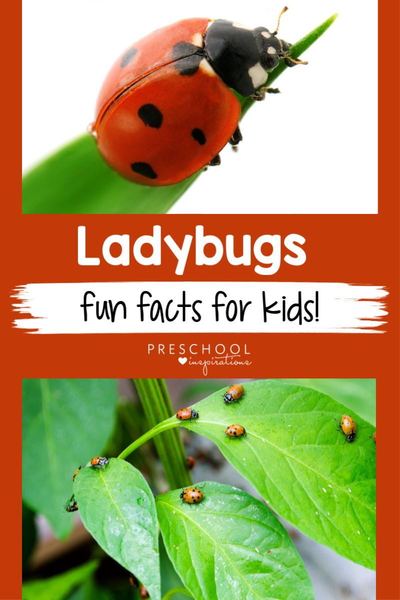 Ladybug Facts for Kids   Facts for kids, Fun facts for ...