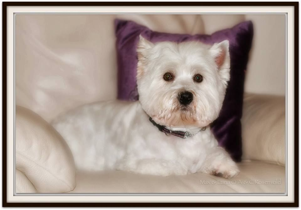 Pin By Joanie S On Too Cute Westies Puppy Pictures West Highland White Terrier West Highland Terrier