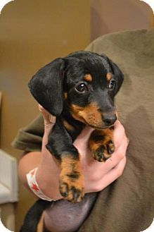 Hagerstown Md Dachshund Mix Meet Maisy A Puppy For Adoption