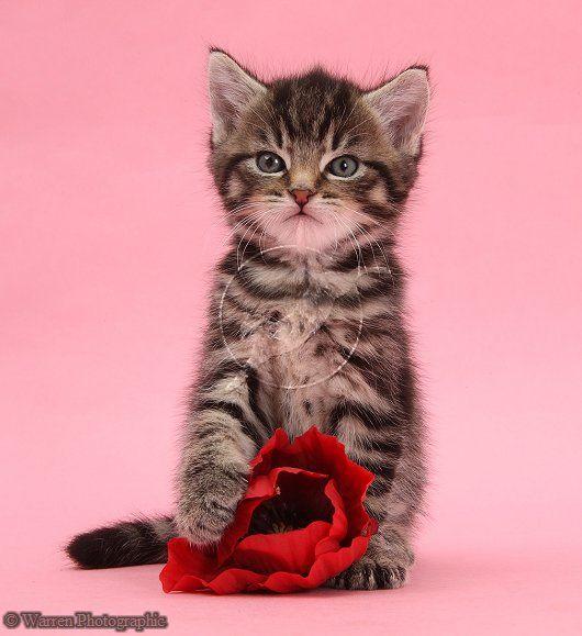 Cute Tabby Kitten 6 Weeks Old With Rose Photo Tiny Kitten Kittens Cutest Kittens