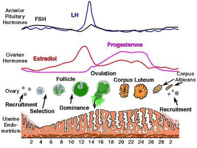 Excellent pictoral graph of a healthy menstrual cycle from start to excellent pictoral graph of a healthy menstrual cycle from start to finish top show fshlh hormone levels middle estrogen and progesterone levels ccuart