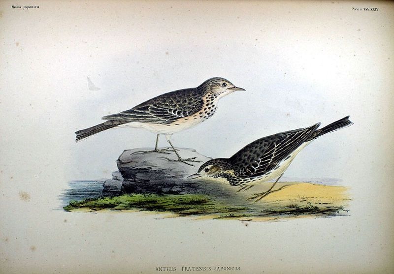 Meadow Pipit, from Fauna Japonica, Illustrations of the birds observed in Japan by Dutch travelers, Philipp Franz von Siebold, 1842.