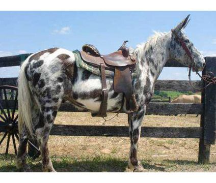 Someday I will have an Appaloosa mule...