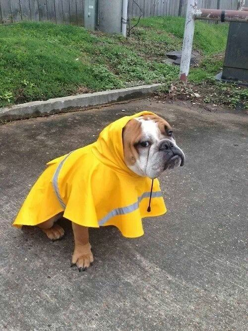 Rainy Out Bulldog Cute Animals Dogs