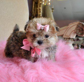 Peekapoo Puppy Fluffy Animals Puppies Puppies And Kitties