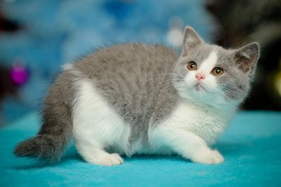 British Empire Cats Available Kittens Kittens Cute Animals British Shorthair Cats