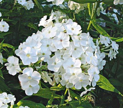 Phlox paniculata david things i want to plant pinterest david is a white phlox that is extremely free flowering maintaining a very full display from mid july well into september in our moon garden mightylinksfo
