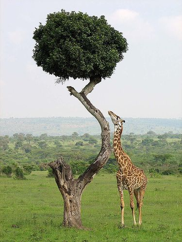 Kenya   - Explore the World with Travel Nerd Nici, one Country at a Time. http://travelnerdnici.com