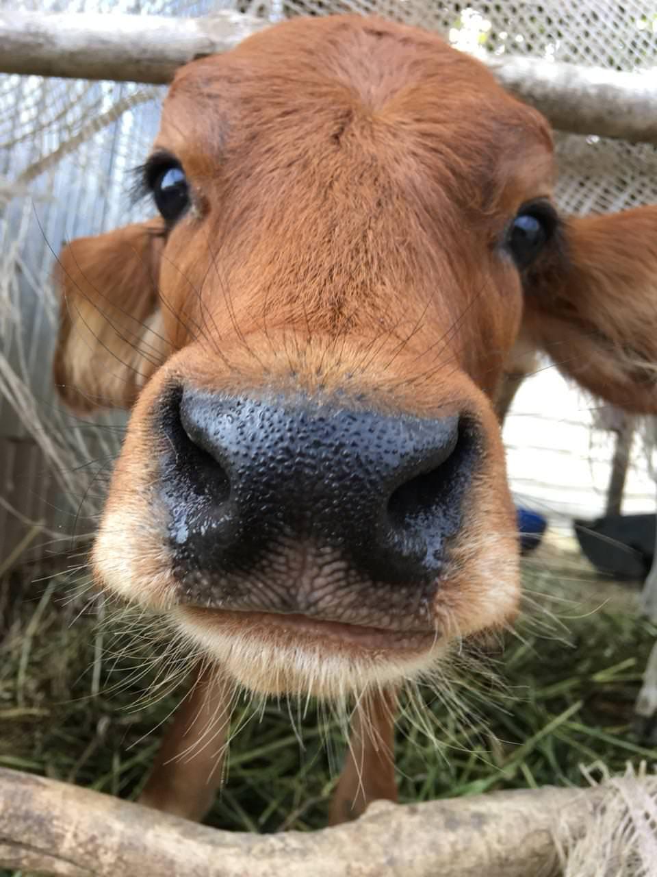 Ass licking Cow