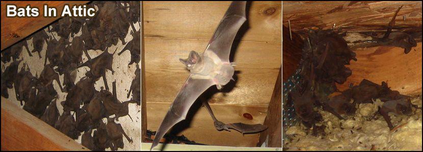 Philadelphia Bat Removal, Pennsylvania Bat Control Company