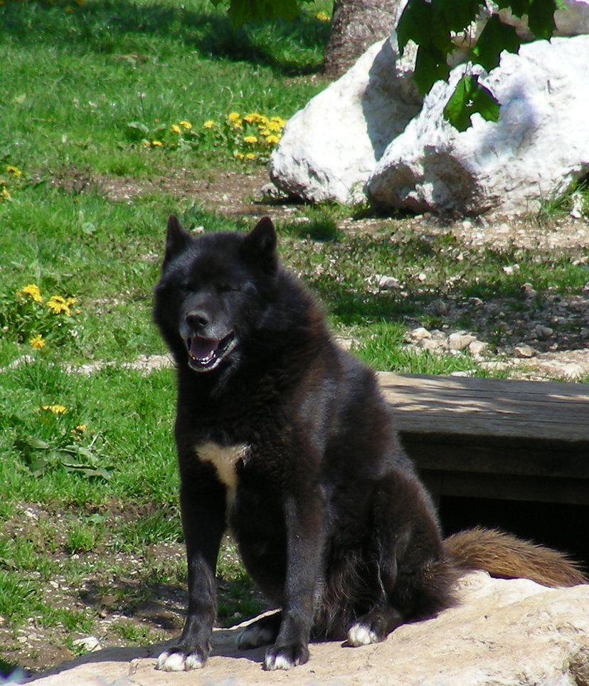 Siberian Husky, Gray Wolf, And German Shepherd Mix Known ...  |Black Siberian Husky Wolf Mix