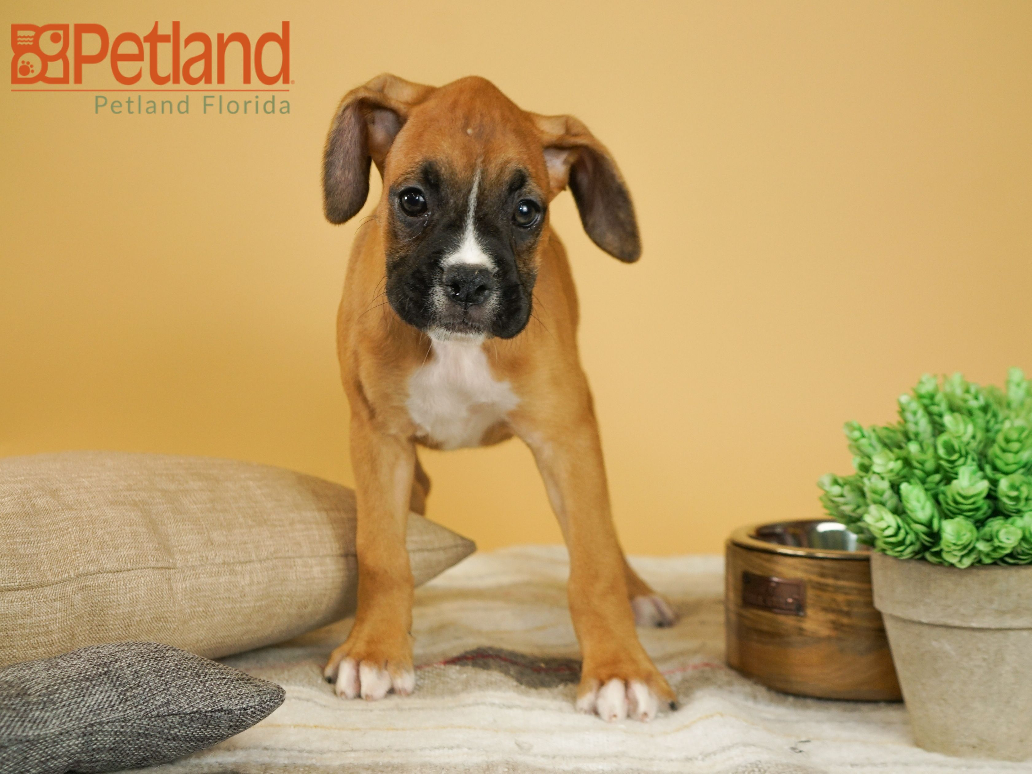Puppies For Sale With Images Puppy Friends Boxer Puppies Boxer Puppies For Sale