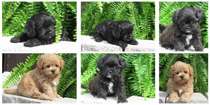 Shih Poo Puppies Shih Poo Puppies Shih Poo Puppies