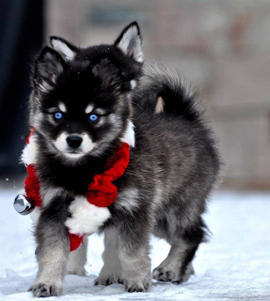 Alaskan Klee Kai Alaskan Klee Kai Husky Dogs Mini Dogs Breeds