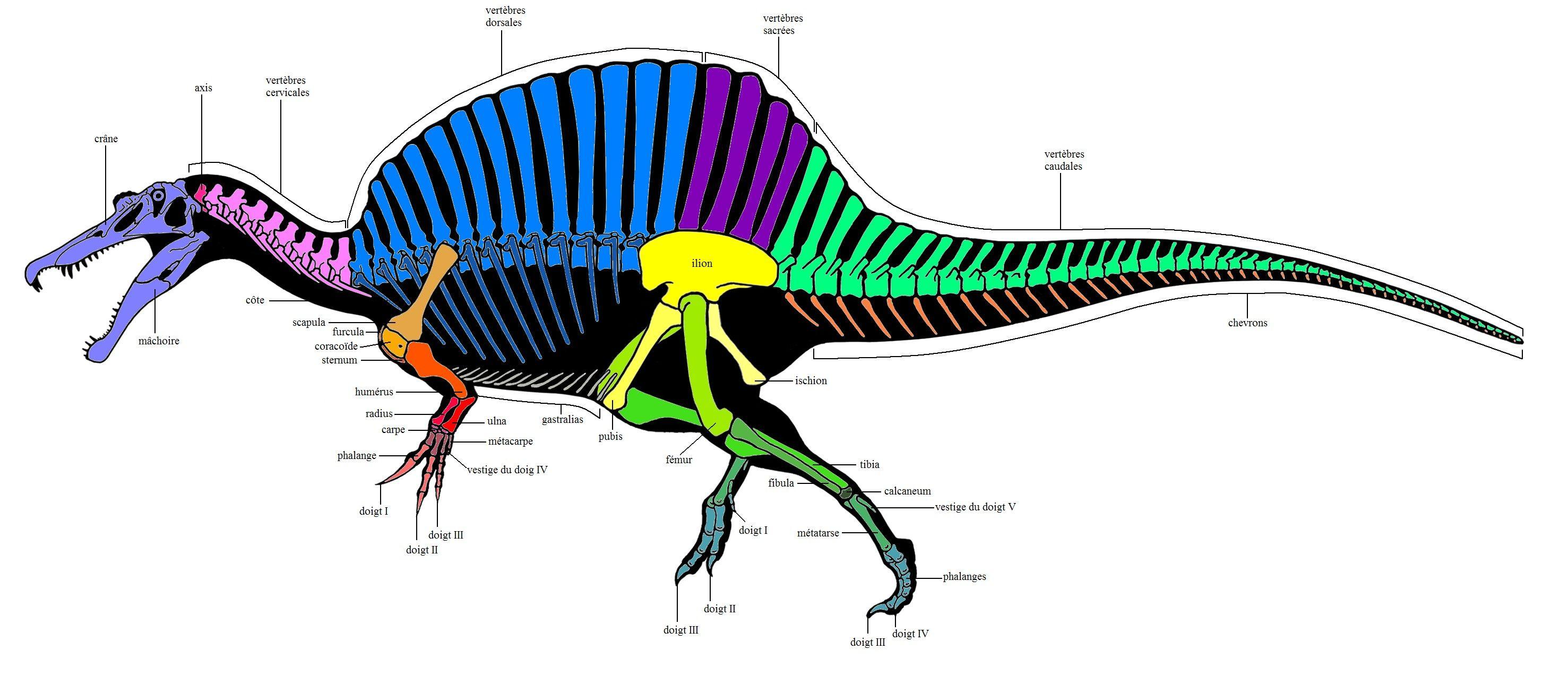 Spinosauridae - Anatomie des Spinosauridae Anatomie du squelette ...