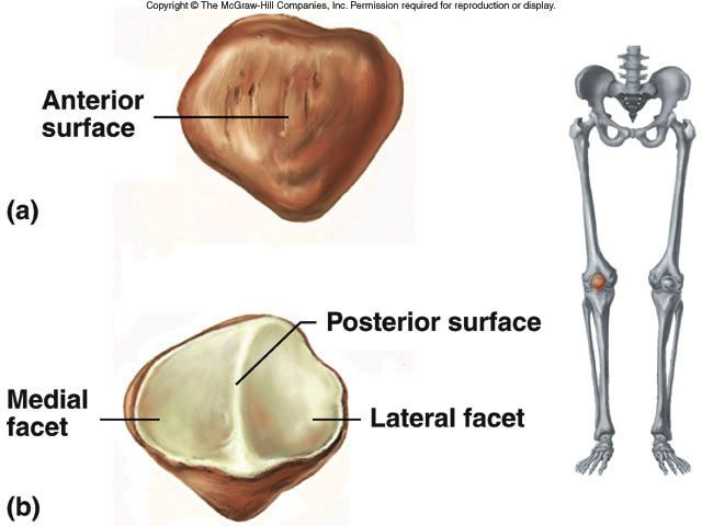 The patella, also known as the knee cap, is a triangular shaped bone ...