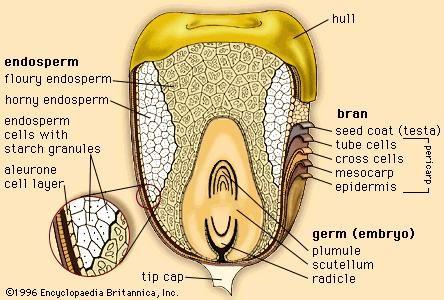 Image result for corn kernel seed