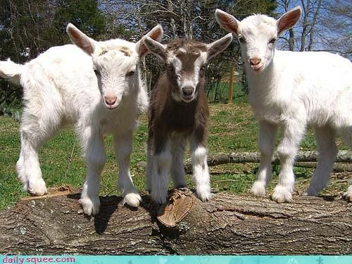 Baby goats in spring make me miss the farm   they are soft