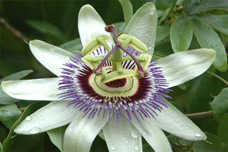 Factsheet Passiflora Caerulea Blue Passionflower Passiflora Caerulea Passiflora Passion Flower