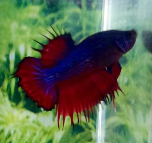 253 Thai Import Fancy Red Blue Crowntail Plakat Ctpk Male Betta Live Fish Betta Red And Blue Live Fish