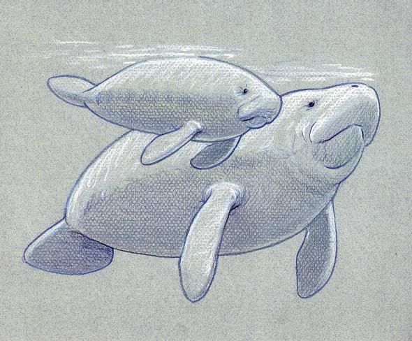 how to draw a west indian manatee