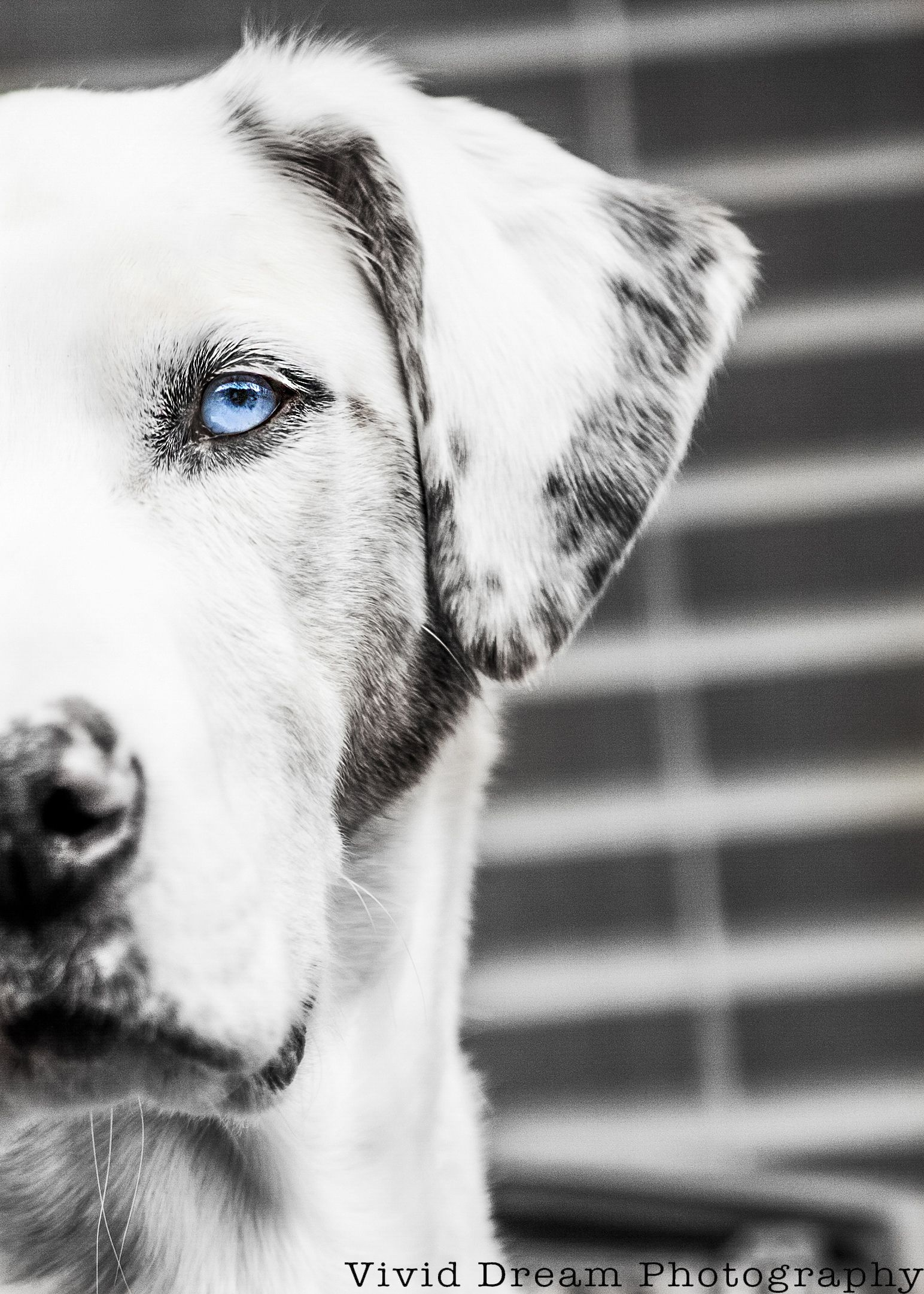 Black and white photo catahoula leopard dog from vivid dream photography edmonton