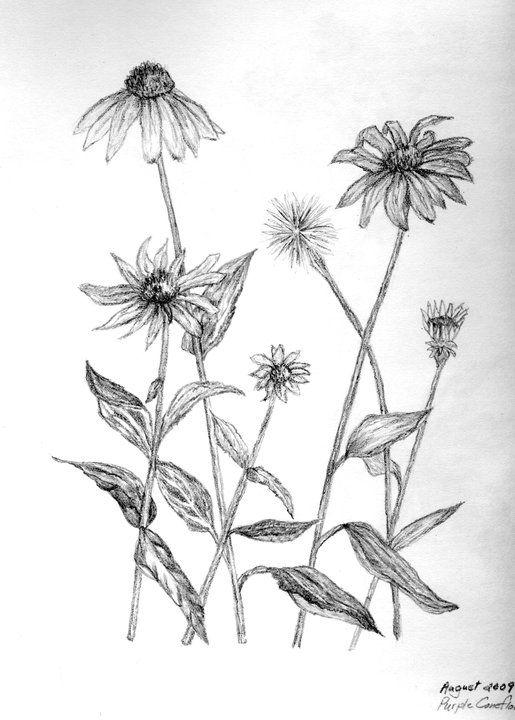 Purple Coneflower Flower Drawing Flower Painting Botanical Drawings