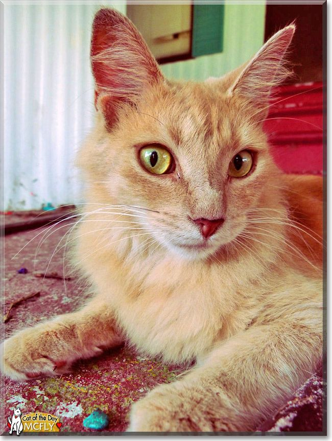 Read Mcfly S Story The Longhaired Abyssinian From Apopka Florida