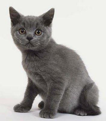 British Blue Kitten Tumblr British Blue Cat Cats And Kittens