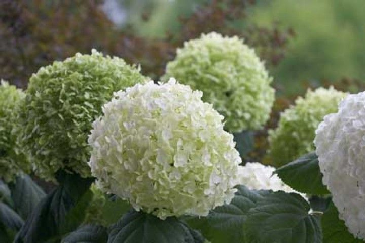 Hydrangea arborescens 'Strong Annabelle' 'Abetwo'