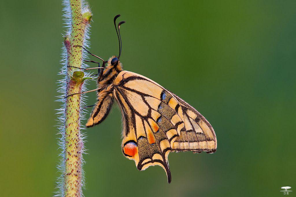 Papillo macaon - Flickr - Photo Sharing!