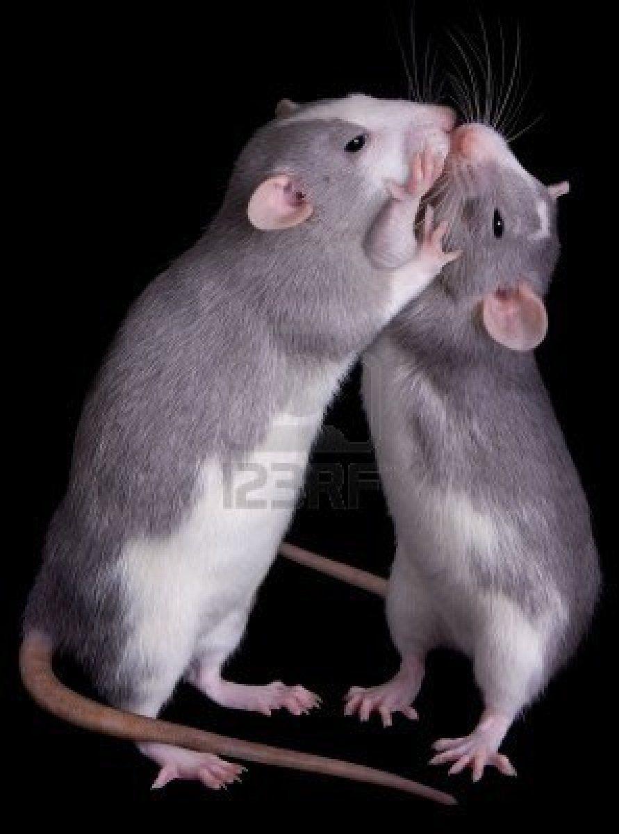 Stock Photo Cute Rats Pet Rats Baby Rats