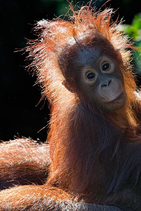 Baby Orangutans are irresistibly cute but at the same time comical in appearance, with their out of control hairstyles & humorous facial expressions #animals / Paul & Paveena McKenzie / Wild Encounters