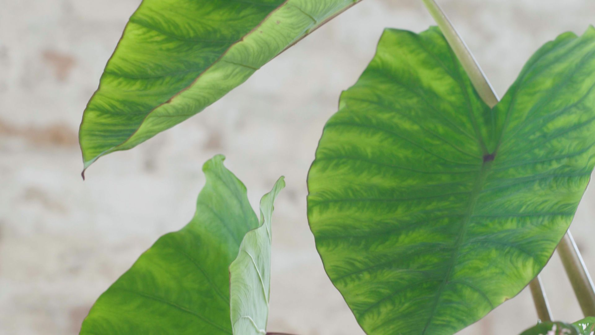 Everything You Need to Know about Elephant Ears #elephantearsandtropicals Elephant ears are tropical foliage plants with large dark green leaves. In USDA plant hardiness zone eight and above, elephant ears can be left outside year-round. #elephantearsandtropicals