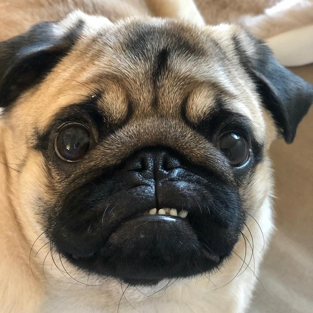 Rrrrrrrrrrrrr Pugs