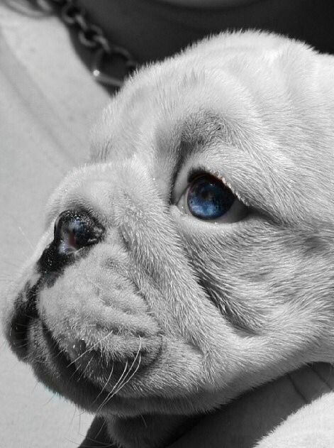 Bulldog Puppy Baby Blue Eyes Bulldog Funny Animals French