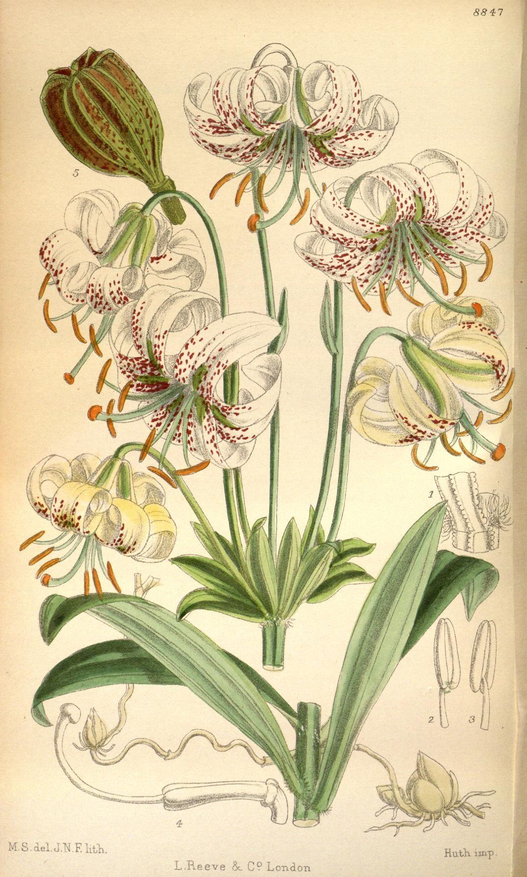 v.146 = ser.4: V.16 (1920) [no.8830-8873] - ботанический журнал Кертиса. - Библиотека наследия биоразнообразия