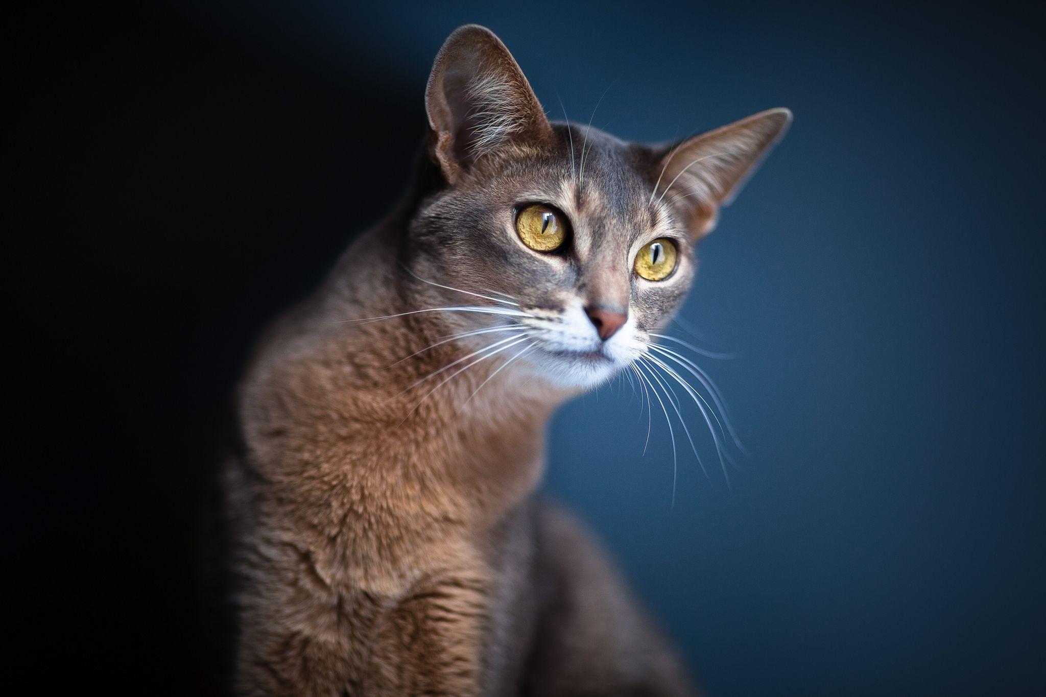Oriental Longhair Cat Cats Photos and Desktop Wallpapers