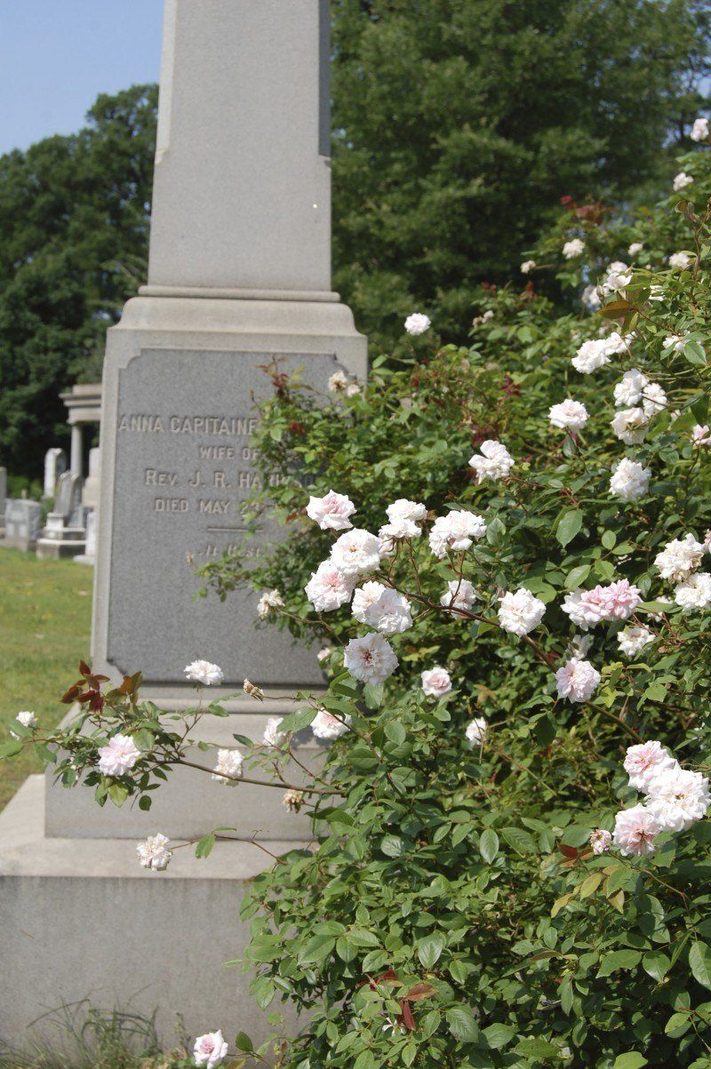 "A ""Cecile Brunner"" climbing rose envelopes the Harrison monument"